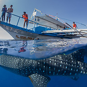 Over-under photo of a whale shark (Rhincodon typus) swimming beneath a tour banca boat, Honda Bay, Palawan, the Philppines