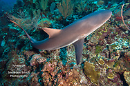 Grand Cayman - A Caribbean reef shark turns across a coral reef at Jack McKenney's dive site.