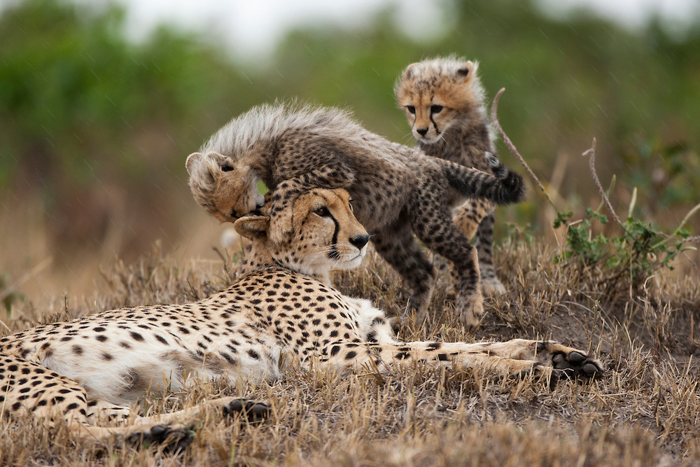 Africa, Kenya, Masai Mara Game Reserve,  Cubs climb over mother Cheetah (Acinonyx jubatas) while resting at beginning of rain storm on savanna