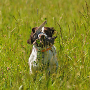 Photography from Wisconsin English Springer Spaniel Association (WESSA) Working Dog/Working Dog Excellent and Dog's Day In The Park, June 19, 2016.  The event took place at the Bong Recreation Area in Burlington, WI.
