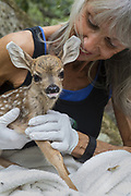 Black-tailed Deer<br /> Odocoileus hemionus<br /> Diane Nicholas, President of Kindred Spirits Fawn Rescue, holding one-day-old orphaned fawn<br /> Kindred Spirits Fawn Rescue, Loomis, California