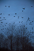 A murder of American crows (Corvus brachyrhynchos) flies low over the trees in wetlands in Bothell, Washington, as they prepare to roost for the night.