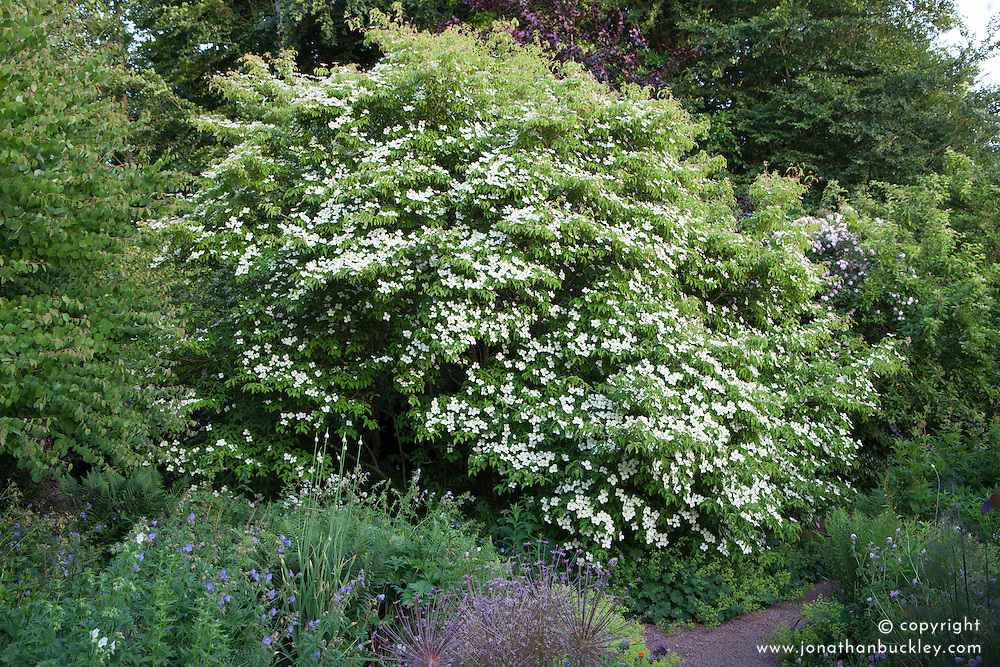 Cornus 'Norman Hadden' at Glebe Cottage. Dogwood