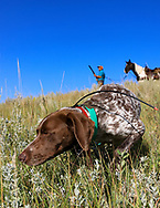 John Zeman's German shorthair Liza locks up on a Hungarian partridge during a Montana upland bird hunt.