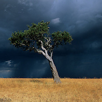 Africa, Kenya, Masai Mara Game Reserve, Afternoon sun lights lone acacia tree on savanna in front of dark storm clouds