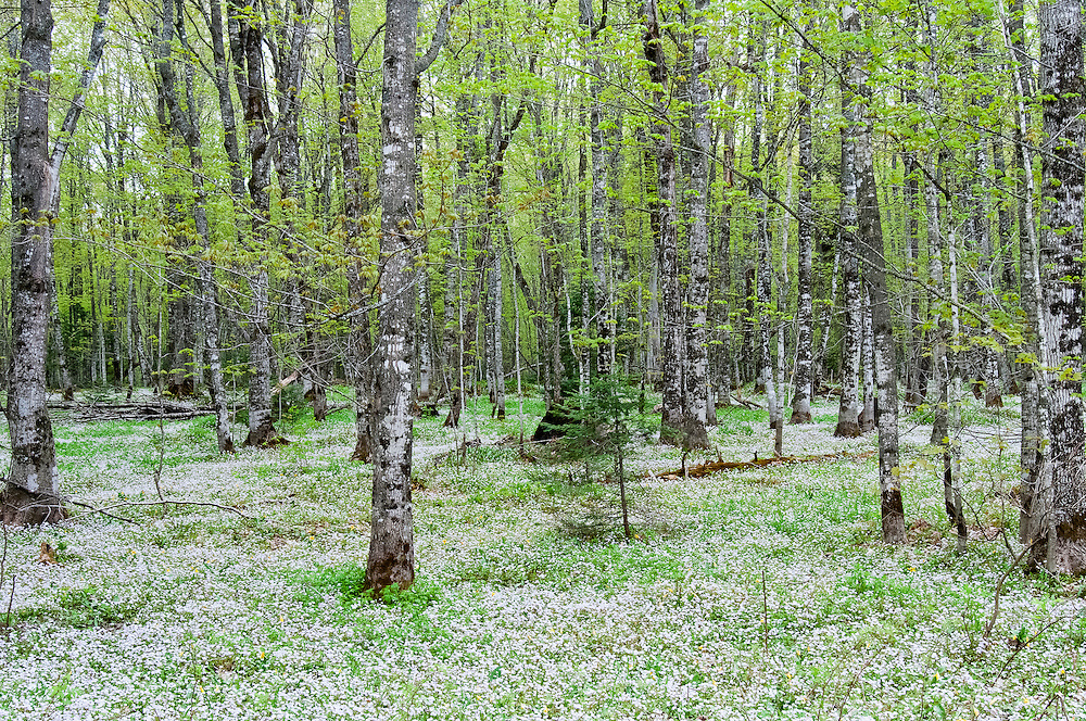 Spring forest, Pictured Rocks National Lakeshore, Grand Marais, Michigan, wildflower, wild, flower, ephemeral, beech, maple, Fagus, Acer, bark, disease, fungi, fungus, scale, Neonectria faginata, ditissima, threatened, woods, spread, spring, beauty, claytonia