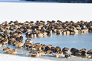00748-05612 Canada Geese (Branta canadensis) flock on frozen lake,  Marion Co, IL