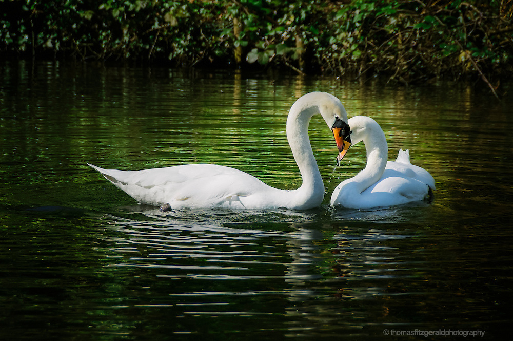 A pair of swans form a heart shape with their knecks as they swim in the waters of this lake in a Dublin Park. Against a backdrop of the green surroundings reflected in the rippling water, these two swans cartess each other and their knecks form a heart shape, while their white plumage contrasts against the backdrop of the water behind