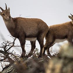 Bouquetin,  Capra ibex