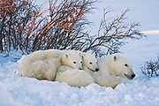 Polar Bear (Ursa maritimus) on sub-arctic Hudson Bay. Mother and two cubs at sunset