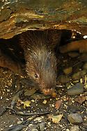 Philippine Porcupine, Hystrix pumila, Palawan Porcupine