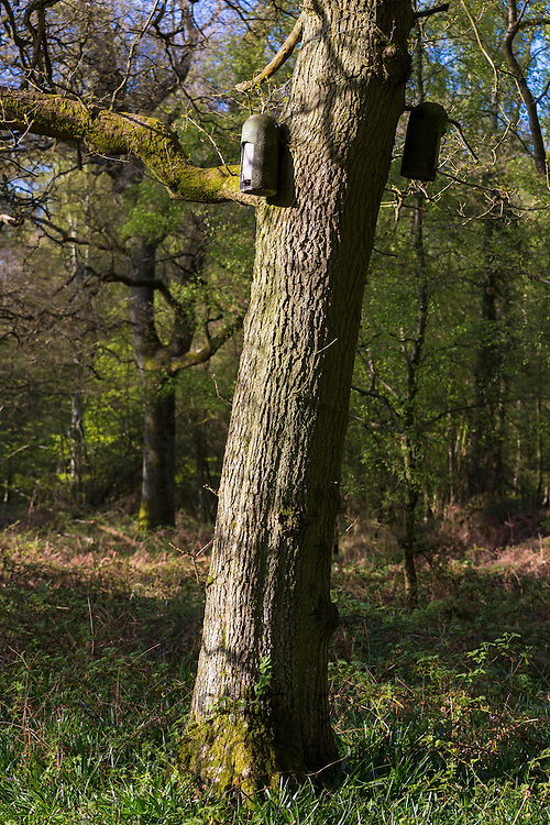 Bat boxes on tree along nature trail path within Bruern Wood in The Cotswolds, Oxfordshire, UK