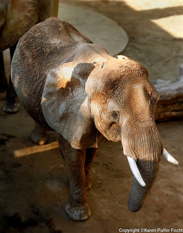 "The Memphis Zoo's elephant matriarch ""Tyranza,"" or ""Ty"" for short, is turning 52 in 2016. She lives at The Memphis Zoo, in Memphis, Tennessee. She is the oldest African Elephant in North America. She was with Ringling Brother Circus before coming to the Memphis Zoo."