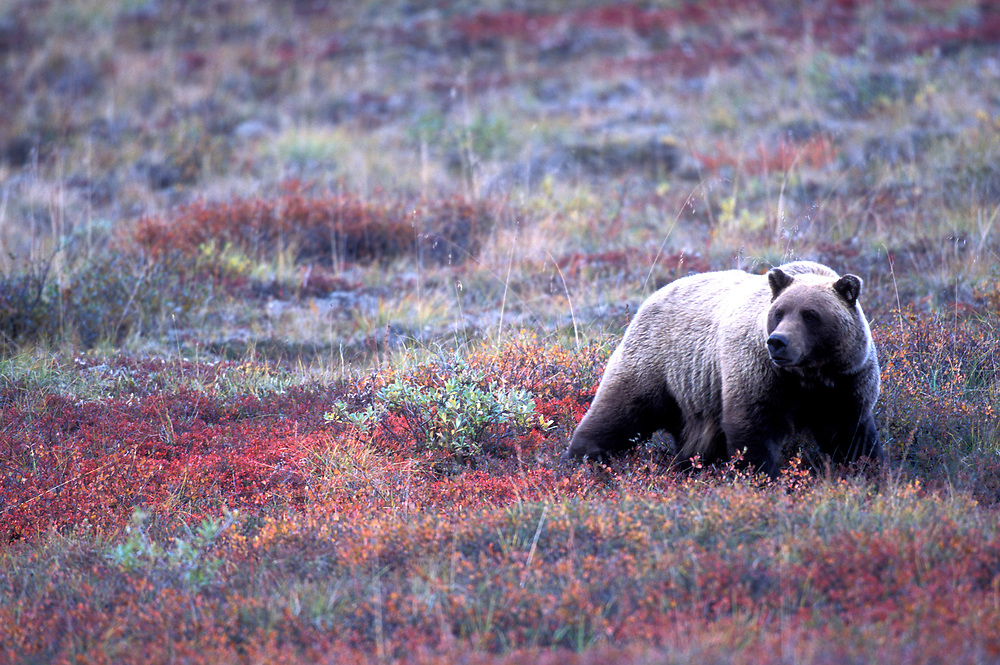 USA, Alaska, Denali National Park, Grizzly Bear (Ursus arctos) walks through tundra near Thorofare Pass on autumn evening