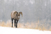 "Images from 2011 ""Battling Bighorns' Photo Tour"