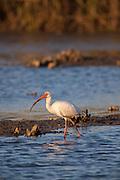 White Ibis wading in marsh