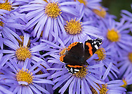 A red admiral butterfly on Aster amellus 'King George' in the Waterperry Garden, Wheatley, Oxfordshire, UK