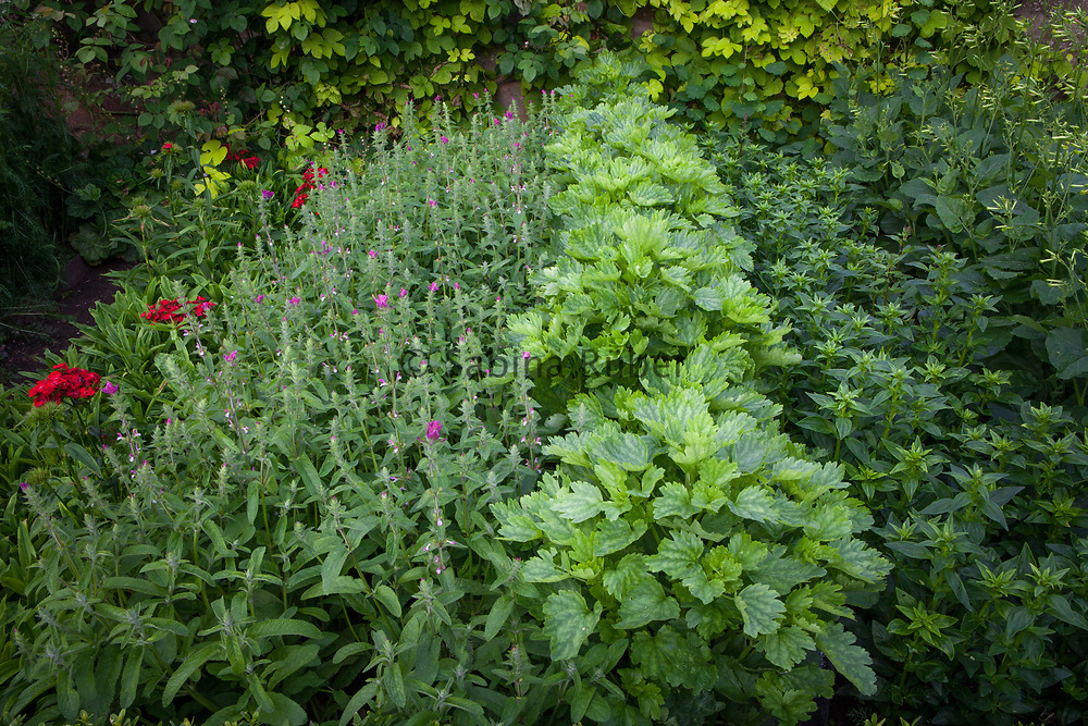 Rows of annual cutflowers : Sweet William, Salvia, Monucella, Snapdragon and Nicotiana