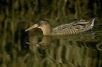The California race of the clapper rail (Rallus longirostris levipes) swims in the Corte Madera Marsh.  Corte Madera, California.  Oct 2002.