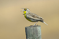 Western Meadowlark (Sturnella neglecta), Langdon Reservoir, Alberta, Canada              Photo: Peter Llewellyn