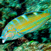 Puddingwife swim in open water just above reef in Tropical West Atlantic; picture taken Roatan, Honduras.
