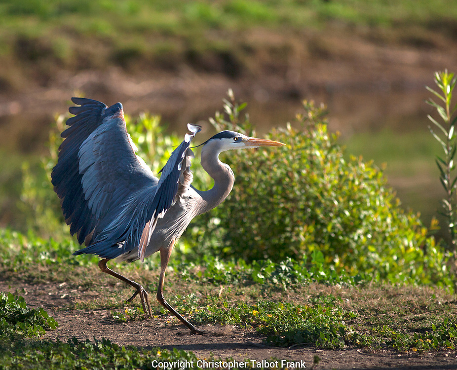 I had to act fast to take this photo of an Active Great Blue Heron.  The large water bird is crossing a path to get from one lake to another.