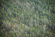 A telephoto image of a lone aspen in autumn, amongst evergreens in the Lamar Valley, Yellowstone National Park