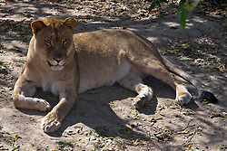 19 October 2010: Female African Lion. St. Louis Zoo, St. Louis Missouri (Photo by Alan Look)