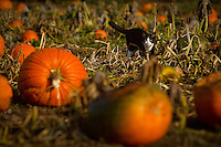 Rosie, one of the many animals that wander through the grounds of Prairie Home Farm, navigates through the vines of a pumpkin patch Thursday.