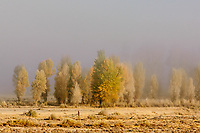 Autumn cottonwoods & early morning fog; Snake River valley, Grand Teton NP., WY