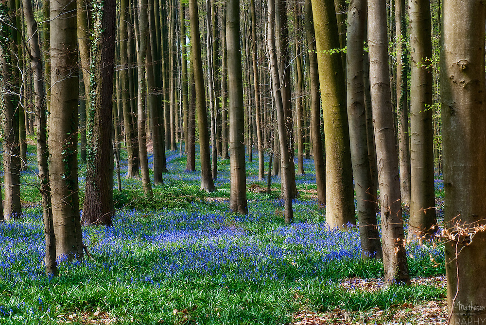 The Hallerbos (Dutch for Forest of Halle) is a public forest in Belgium, located about 15 Kms south of Brussels. Each Spring the forest floor turns blue from bluebell flowers (Hyacinthoides non-scripta.