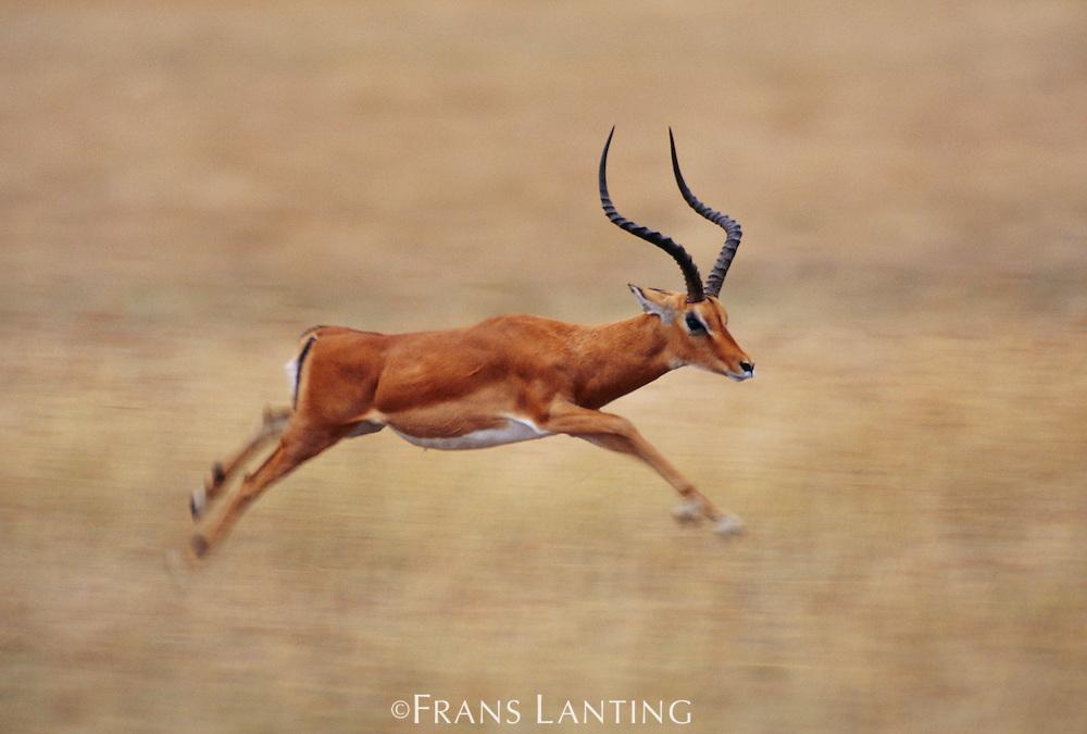 Impala buck running, Aepyceros melampus, Okavango Delta, Botswana