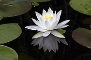 A Water Lily flower (Nymphaeaceae) is reflected in a backyard pond in the Fraser Valley of British Columbia, Canada.