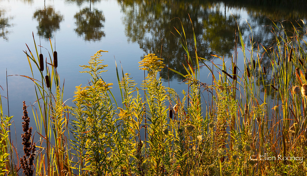 Cattails (Typha angustofolia) and Golden Rod (Solidago) growing around a pond in Westerlo, New York, U.S.A.