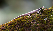 Striped tree skink (Apterygodon vittatus) from Sabah, Borneo.