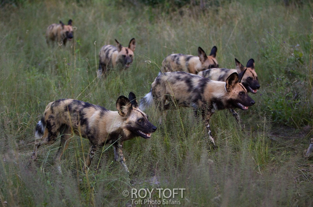 Pack of wild Cape hunting dogs (Lycaon pictus) walking through tall grass, Botswana.