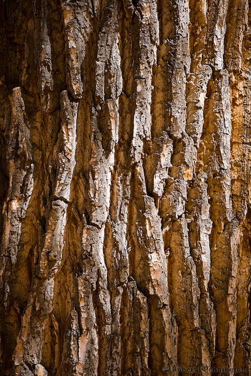 A Cottonwood tree's bark shows the deep furrows of its age.