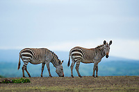 Cape Mountain Zebra's grazing, De Hoop Nature Reserve and marine protected area, Western Cape, South Africa