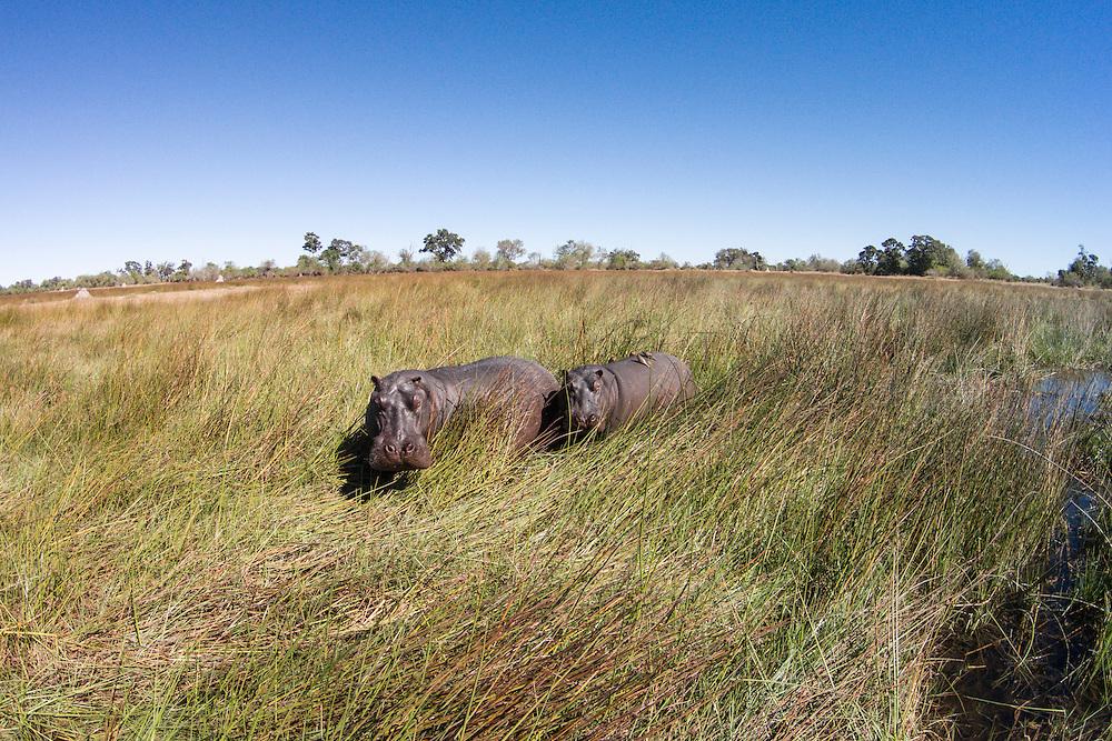Africa, Botswana, Moremi Game Reserve, Aerial view of Hippopotamus (Hippopotamus amphibius) in wetlands of Okavango Delta