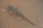 Tiger Salamander; Ambystoma tigrinum; in playa lake; TX, Floyd County;