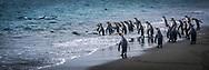 King Penguins on the beach at Salisbury Plain, South Georgia Island