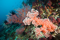 Soft coral, sea fans and sponges growing on a reef wall, Maratua, Kalimantan, Indonesia.
