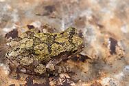 Cope's Gray Tree Frog (Hyla chrysoscelis)<br /> United States: Alabama: Tuscaloosa Co.<br /> Tulip Tree Springs off Echola Rd.; Elrod<br /> 27-Oct-2016<br /> J.C. Abbott #2877