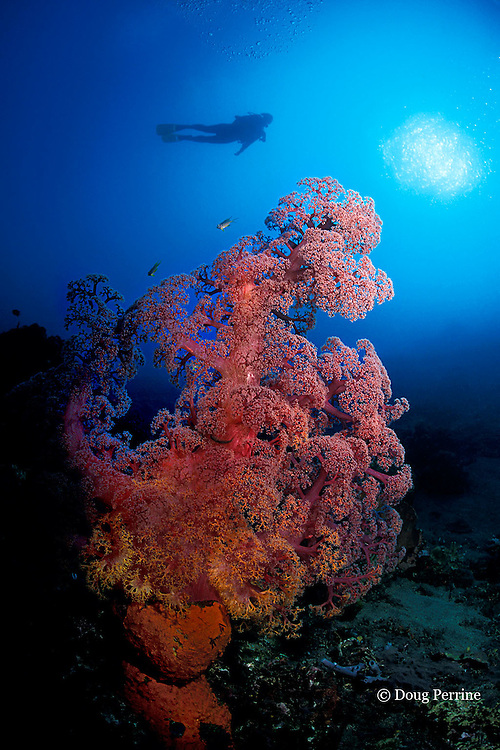 soft coral, Dendronephthya sp., Alamanda Bay, Bali, Indonesia MR 270