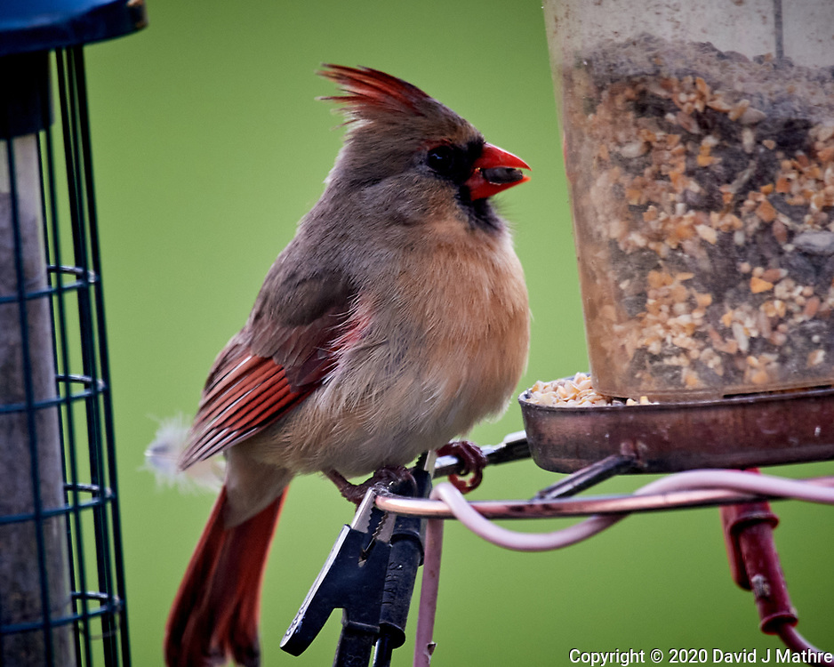 Female Northern Cardinal. Image taken with a Nikon D5 camera and 600 mm f/4 VR lens (ISO 1600, 600 mm, f/5.6, 1/100 sec)