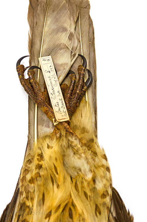 Spellman Bird Collection: Buteo latissimus, August 29, 1882. No.480