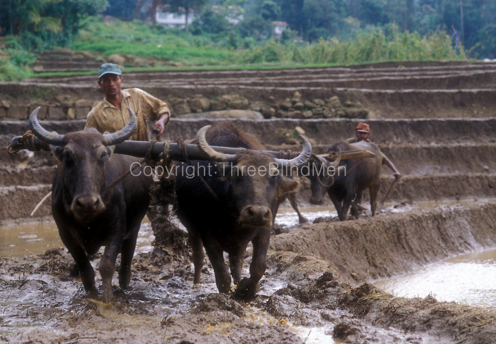 Farming ploughing terraced paddy or rice fields in the Kotmale valley.