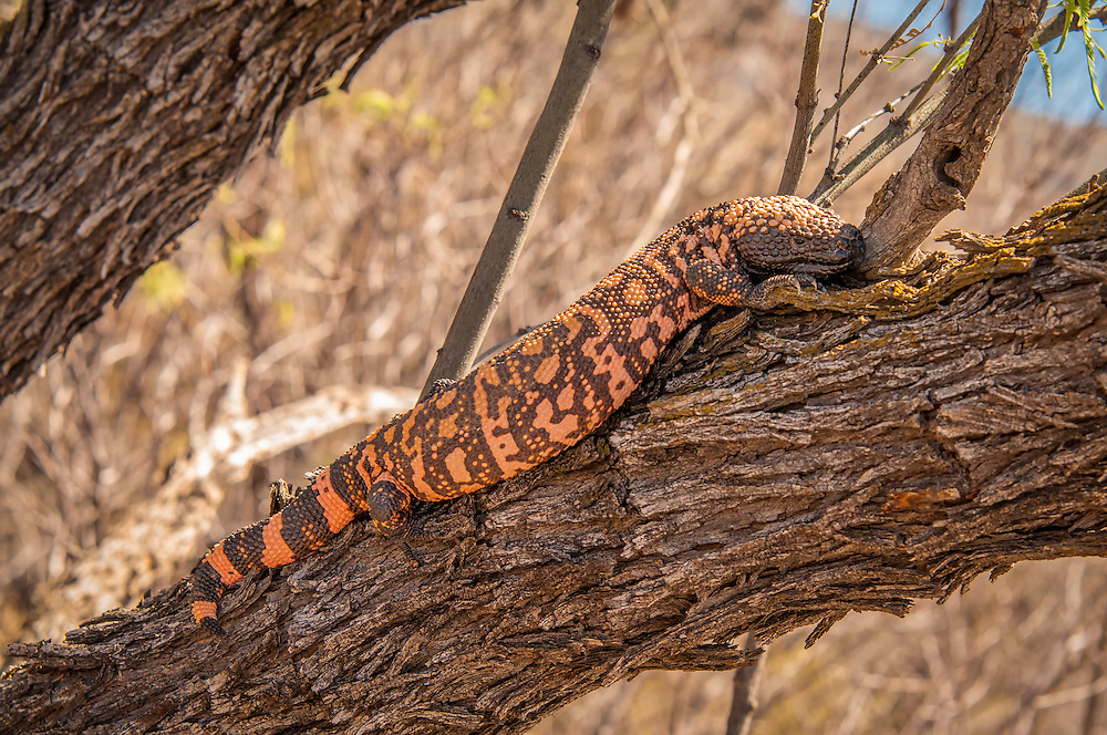 The venomous, yet slow-moving gila monster posing in the lower branches of a mesquite bush in the Sonoran Desert, just outside of Tucson, Arizona. This was my first time seeing one in the wild, and I actually delayed my travel plan to spend extra time looking for one of these.