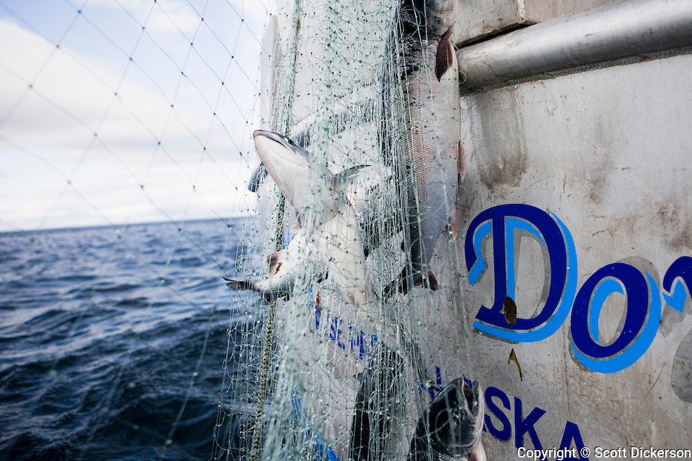Fish caught in the gillnet while commercial sockeye salmon fishing in the Eastern Aleutian Islands, area M, region aboard the F/V Lucky Dove.