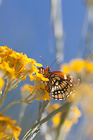 Chlosyne leanira wrightii (Leanira Checkerspot) at Glendora Ridge, Los Angeles Co, CA, USA, on Golden yarrow 02-May-15